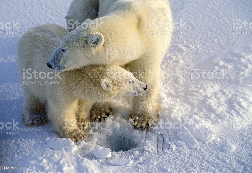 Polar bears royalty-free stock photo