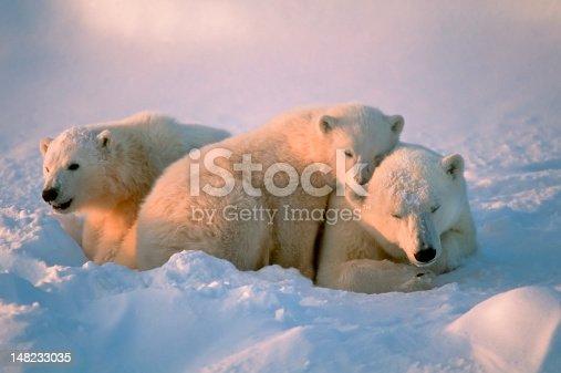 istock Polar bears 148233035