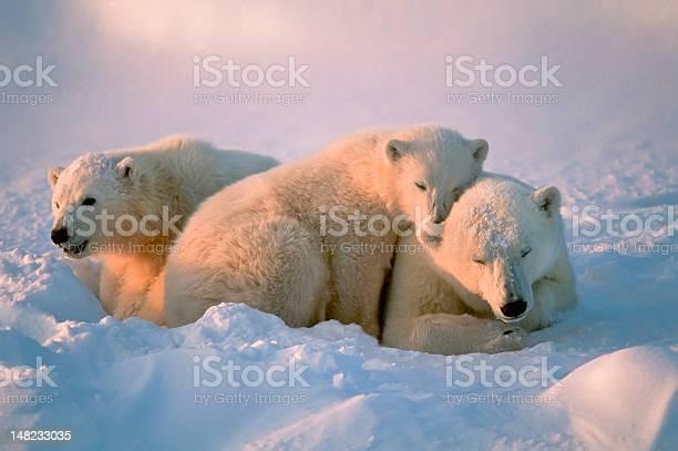 Polar bears picture id148233035?b=1&k=6&m=148233035&s=612x612&h=5xcs9zwtqm6off qzbmo0qhoew9stpszolmmyqhl4v0=