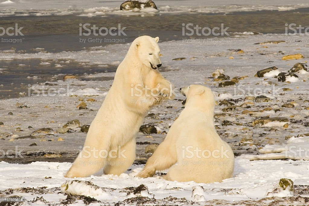 Polar bears. royalty-free stock photo
