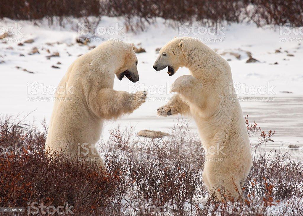 Eisbären sumo wrestle – Foto
