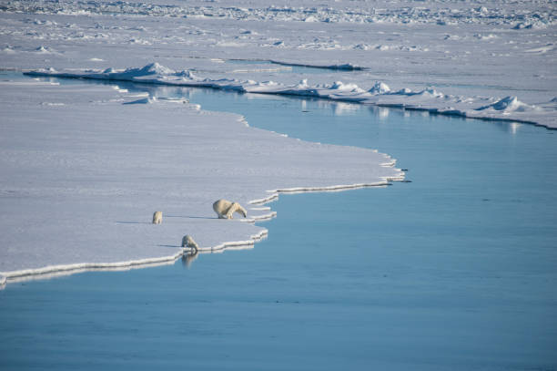 Polar bears walking on the ice. stock photo