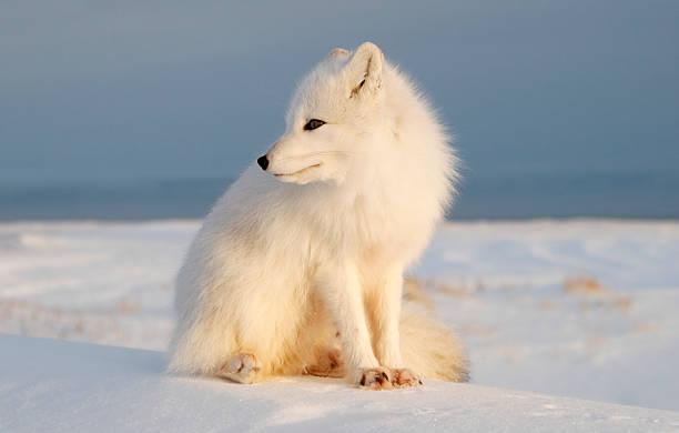 raposa polar observa tundra. - raposa ártica imagens e fotografias de stock