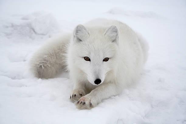 raposa polar. pendente. - raposa ártica imagens e fotografias de stock