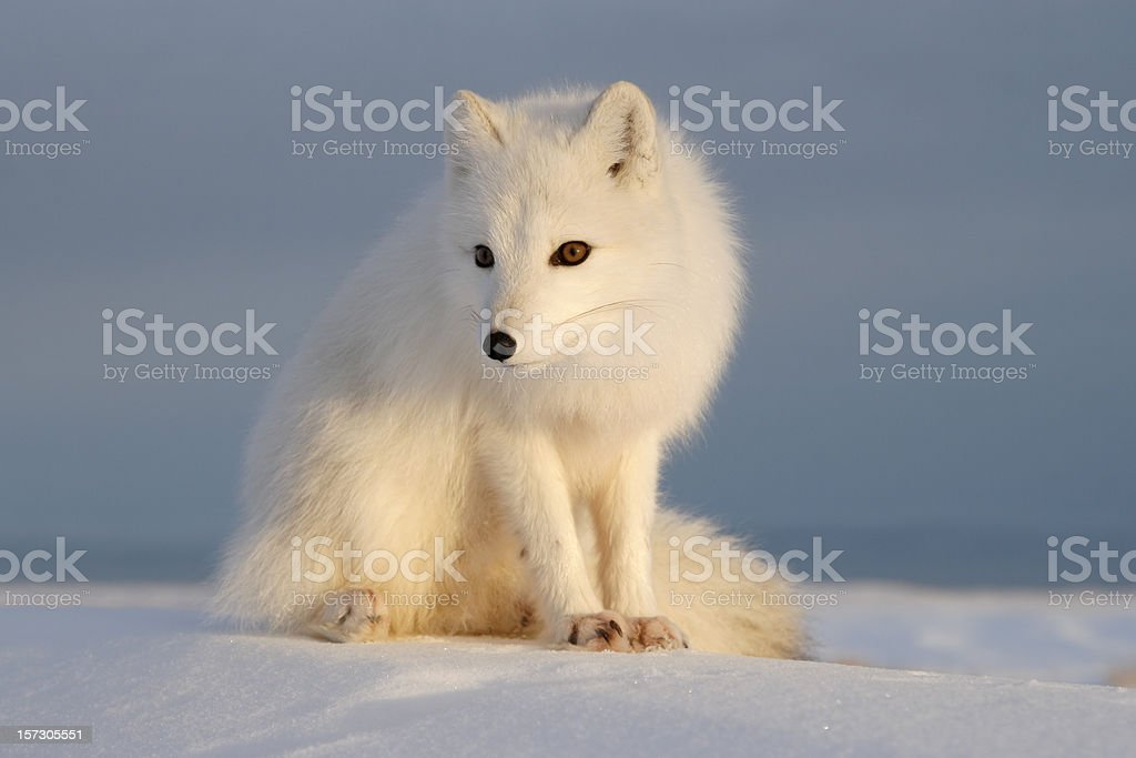 Polar fox. royalty-free stock photo
