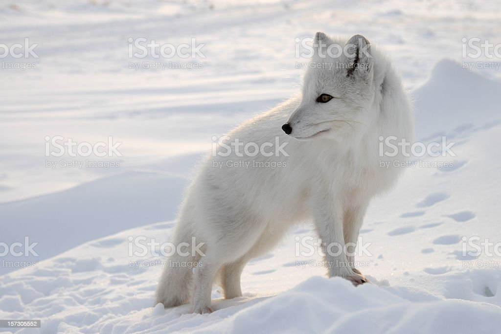Polar fox. stock photo