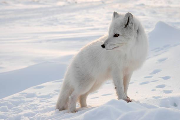 Polar fox. stock photo