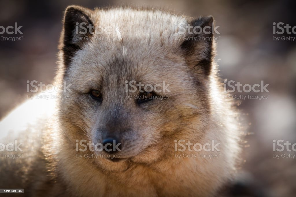 Renard Polaire - Polar fox - Royalty-free Animal Stock Photo