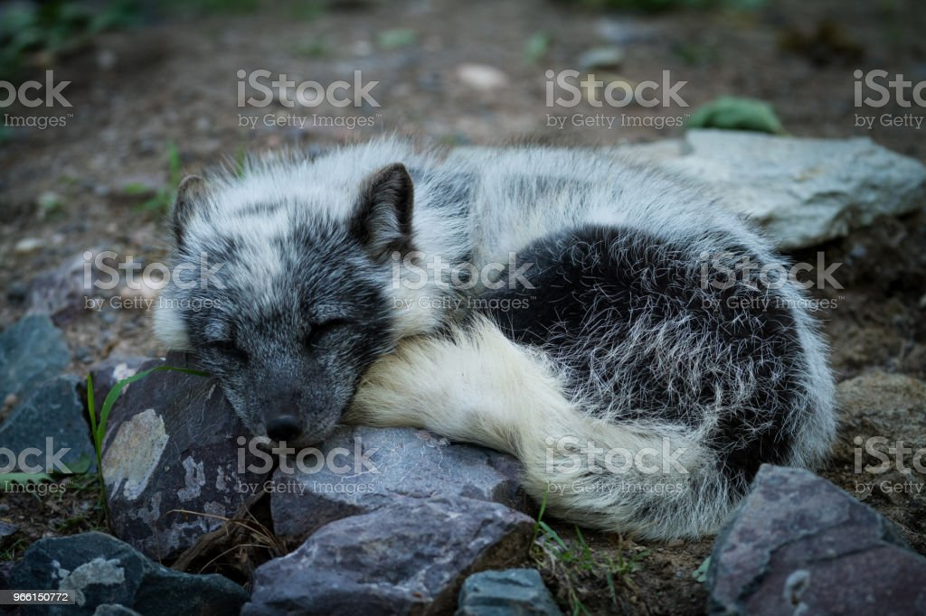 Renard Polaire - Polar fox - Royalty-free Animal Foto de stock