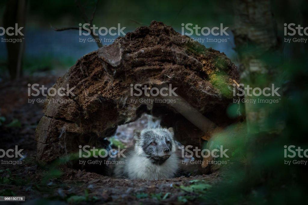 Renard Polaire - Polar fox - Royalty-free Arctis Stockfoto