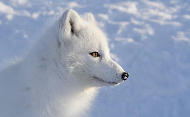 raposa polar. vista lateral. - raposa ártica imagens e fotografias de stock