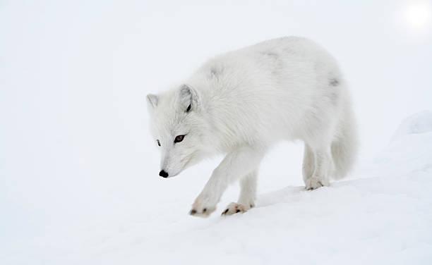 raposa polar passos fora briskly. - raposa ártica imagens e fotografias de stock