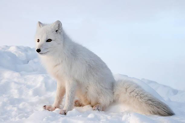 raposa polar. inverno. - raposa ártica imagens e fotografias de stock