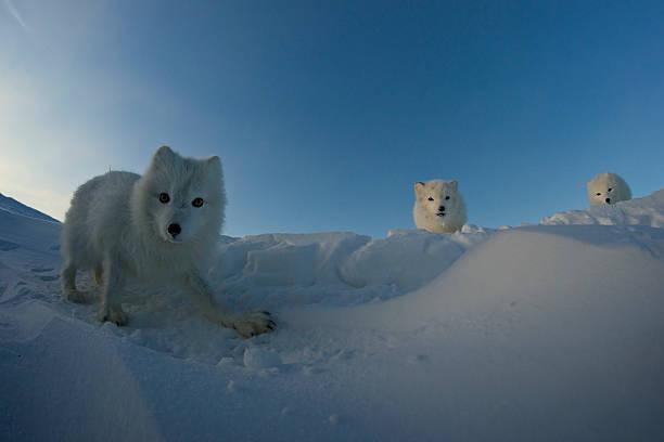 polar raposas procura presa na tundra neves. - raposa ártica imagens e fotografias de stock