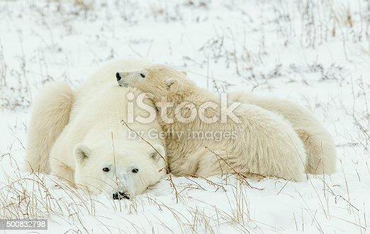 istock Polar she-bear with cubs on the snow. 500832798