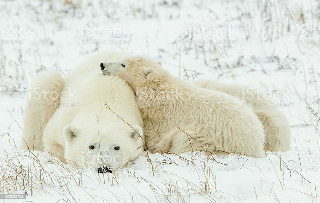 Polar she-bear with cubs on the snow. stock photo