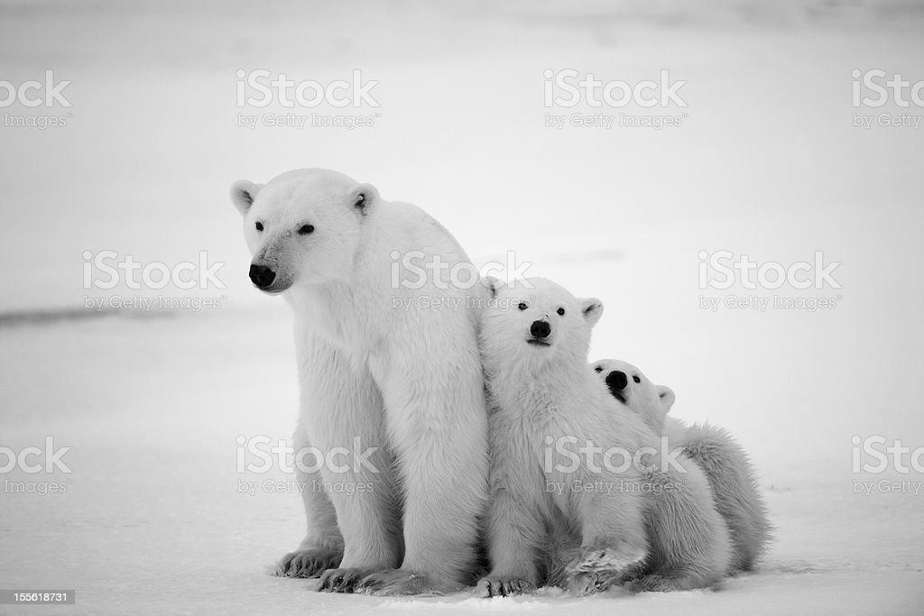 White she-bear with cubs. A Polar she-bear with two small bear cubs....