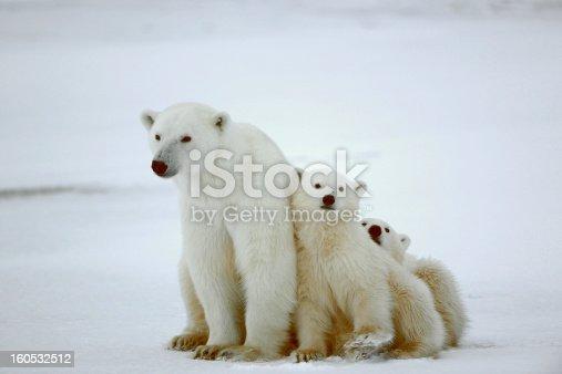 istock Polar she-bear with cubs. 160532512