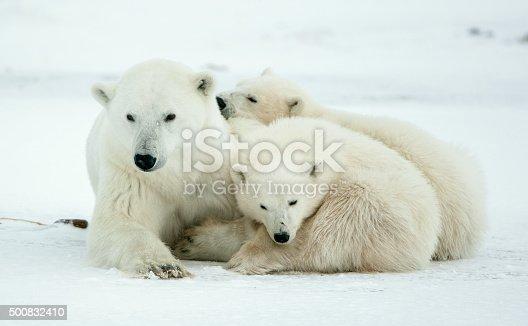 istock Polar she-bear with cubs 500832410