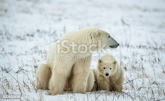 istock Polar she-bear with cubs. 500832606