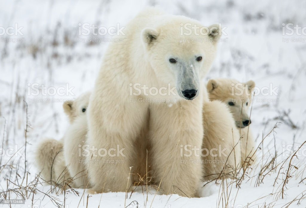 Polar she-bear with cubs. stock photo