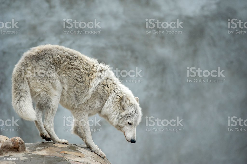 polar tundrian wolf standing on a clief stock photo