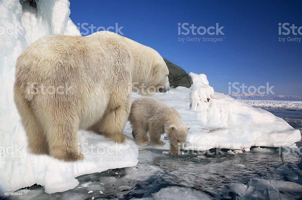 polar white she-bear with  bear cub to stand on ice stock photo
