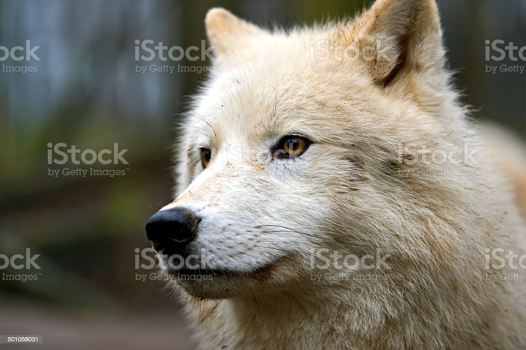 Polar wolf in its natural habitat stock photo