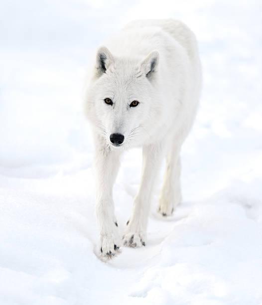 Polar wolf stock photo