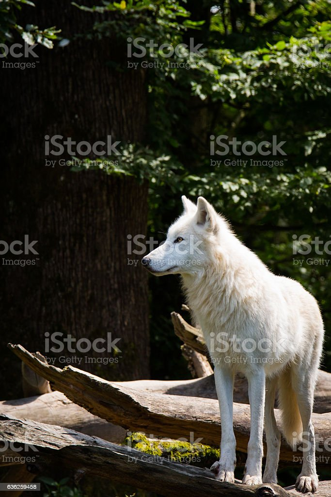 Polar wolf stock photo