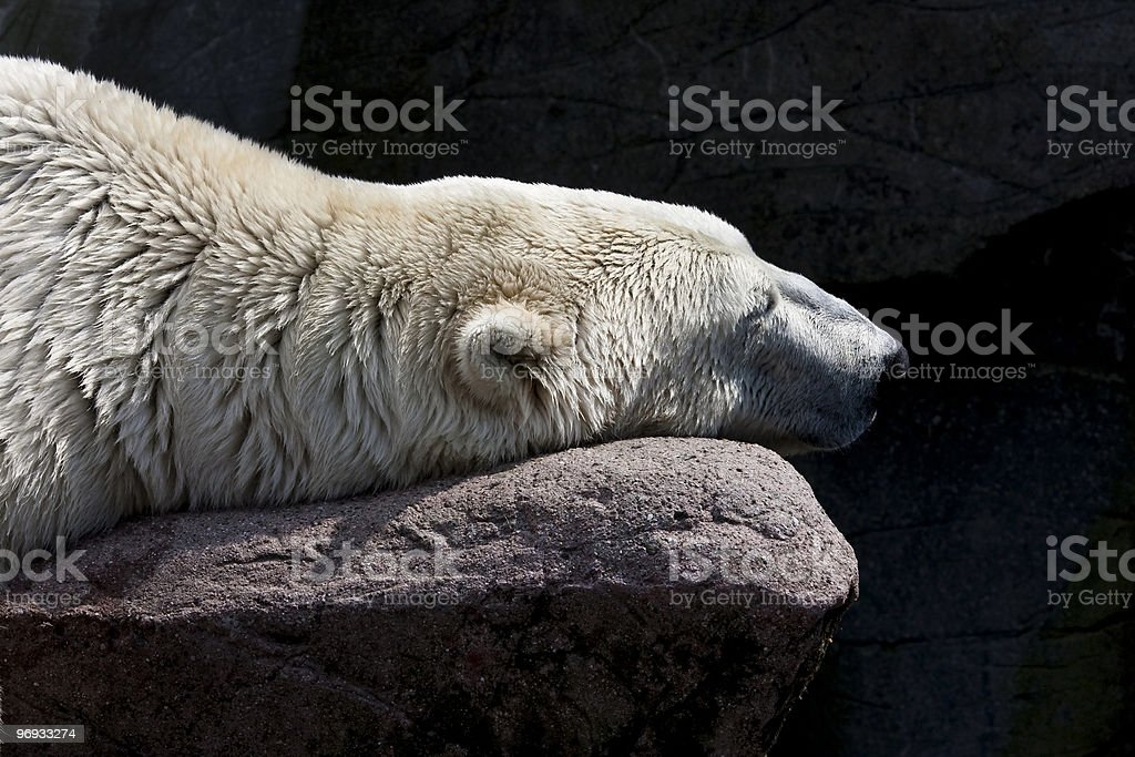 Polarbear Snoozing royalty-free stock photo