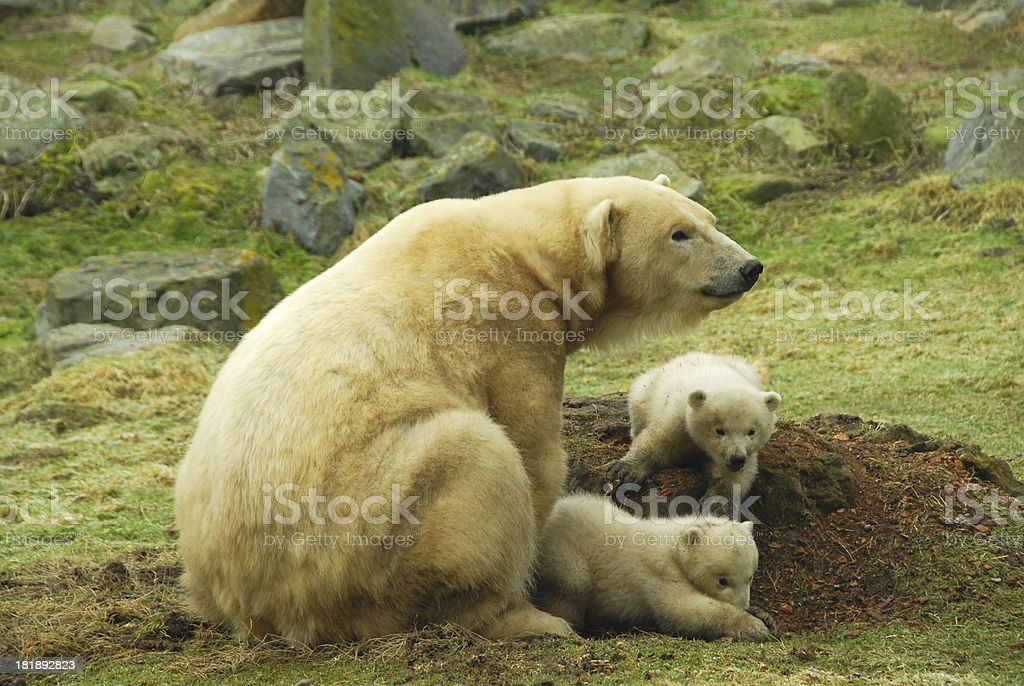 Polarbear with twin cubs. royalty-free stock photo