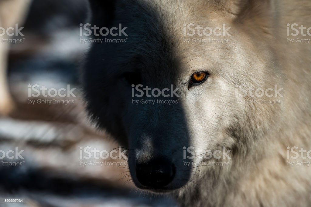 Polarwolf Mit Fesselndem Blick Und Bernsteinfarbenen Augen – Foto