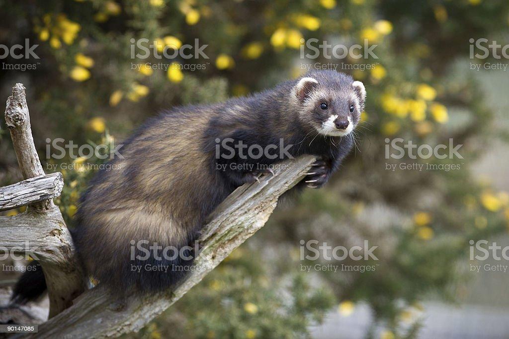 Polecat on a branch stock photo