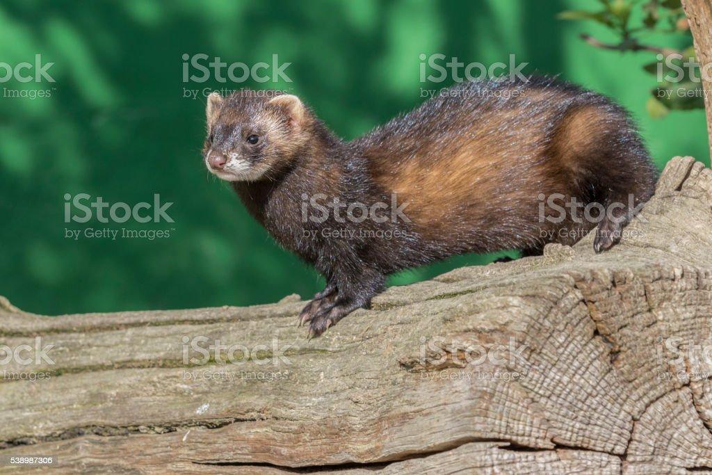 Polecat (Mustela putorius) stock photo