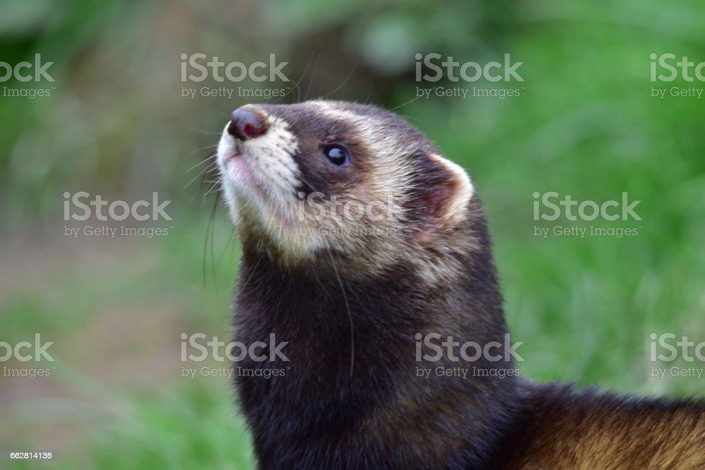 Polecat stock photo