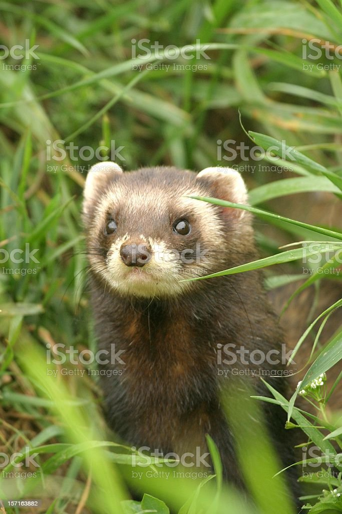 Polecat with a mask like face across the eyes in forest stock photo
