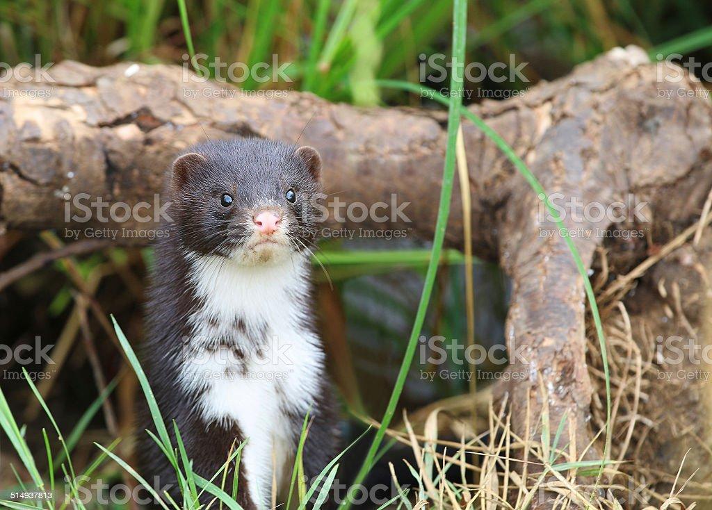 Polecat-coloured Ferret stock photo