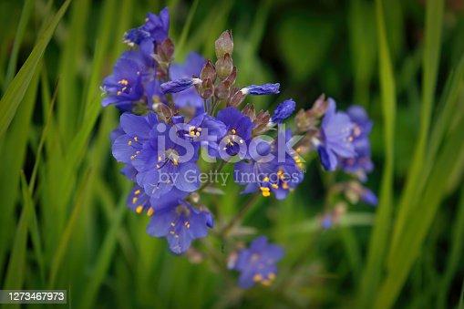 istock Polemonium caeruleum, known as Jacob's-ladder or Greek valerian close-up. 1273467973