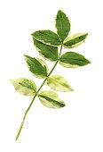 istock Polemonium reptans  plant isolated 1055447390