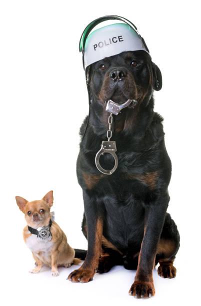 polis köpek chihuahua ve rottweiler - k logo stok fotoğraflar ve resimler