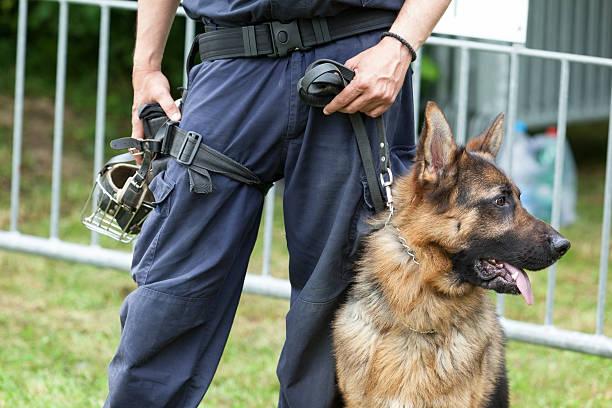 police dog. policeman with a german shepherd on duty. - псовый стоковые фото и изображения
