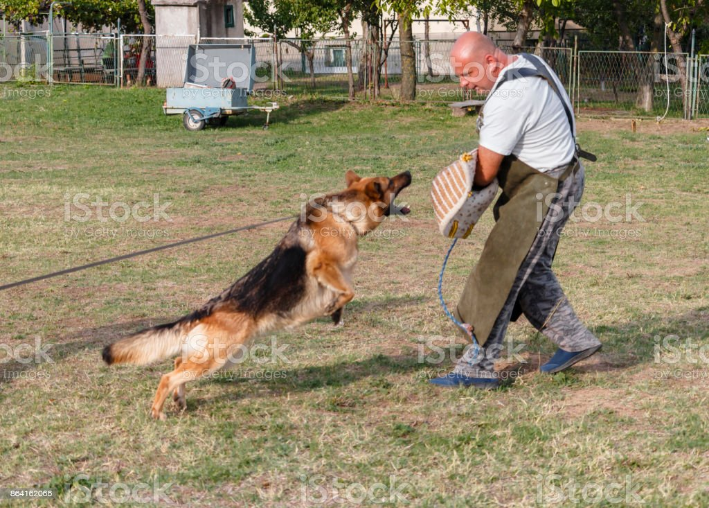 Police dog trains a defense-attack. royalty-free stock photo