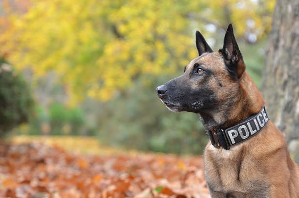 police dog mit offiziellen kragen - dressierter hund stock-fotos und bilder