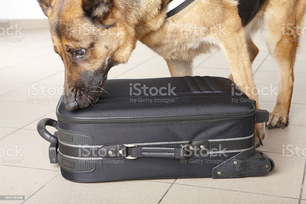 Police German Shepard dog sniffing luggage stock photo