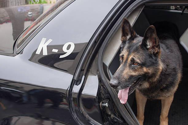 polizei k-9 in patrol auto - dressierter hund stock-fotos und bilder