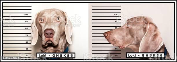 Police photo of the criminal dog thief weimaraner caught by the picture id1126369602?b=1&k=6&m=1126369602&s=612x612&h=1gzk7v5nukiqyejsencgd iognnj0ui81oh9lkcsd3k=