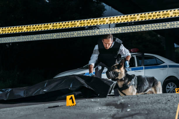 policeman holding german shepherd on leash at crime scene with corpse in body bag stock photo