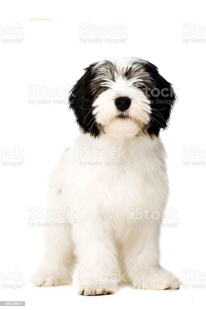 Polish Lowland Sheepdog isolated on a white background stock photo