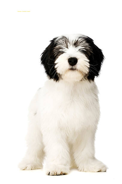 Polish Lowland Sheepdog isolated on a white background stock photo
